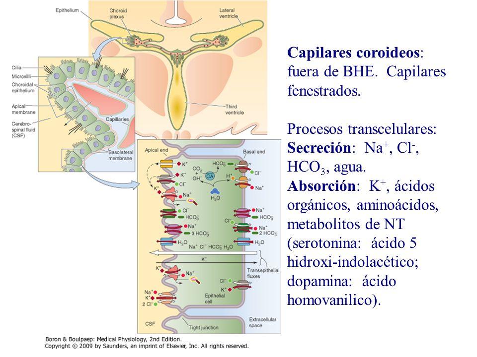 Capilares coroideos: fuera de BHE. Capilares fenestrados. Procesos transcelulares: Secreción: Na +, Cl -, HCO 3, agua. Absorción: K +, ácidos orgánico