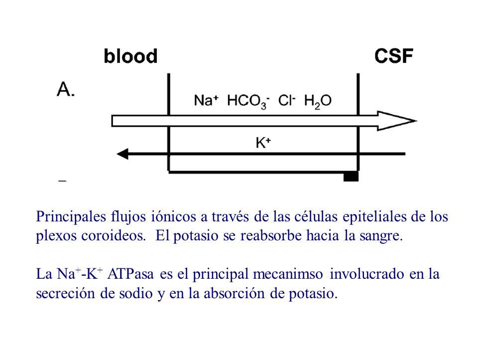 Principales flujos iónicos a través de las células epiteliales de los plexos coroideos. El potasio se reabsorbe hacia la sangre. La Na + -K + ATPasa e