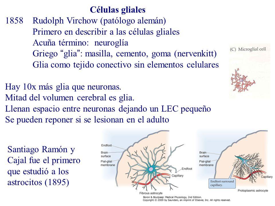 Células gliales 1858Rudolph Virchow (patólogo alemán) Primero en describir a las células gliales Acuña término: neuroglía Griego glia: masilla, cement
