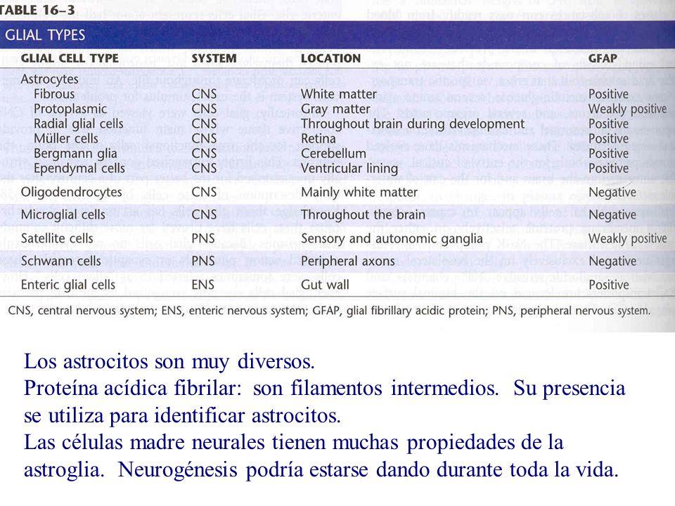 Los astrocitos son muy diversos. Proteína acídica fibrilar: son filamentos intermedios. Su presencia se utiliza para identificar astrocitos. Las célul
