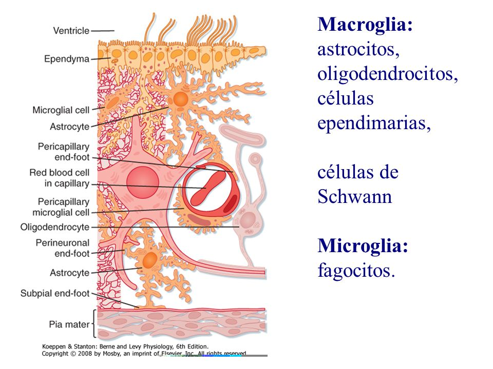 Macroglia: astrocitos, oligodendrocitos, células ependimarias, células de Schwann Microglia: fagocitos.