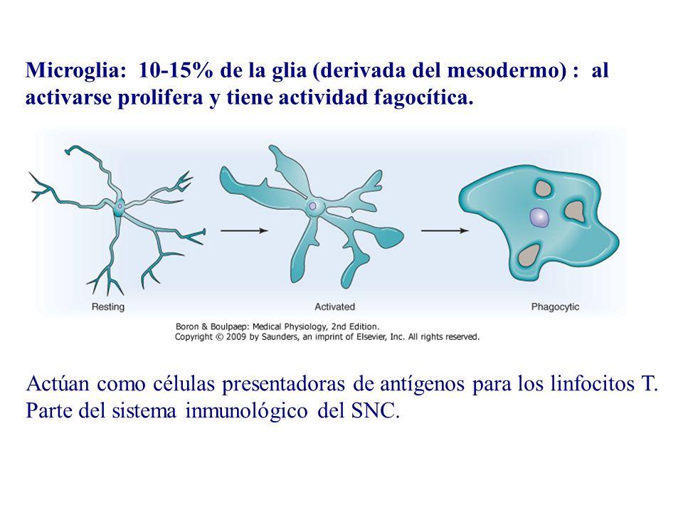 Microglia: 10-15% de la glia (derivada del mesodermo) : al activarse prolifera y tiene actividad fagocítica. Actúan como células presentadoras de antí