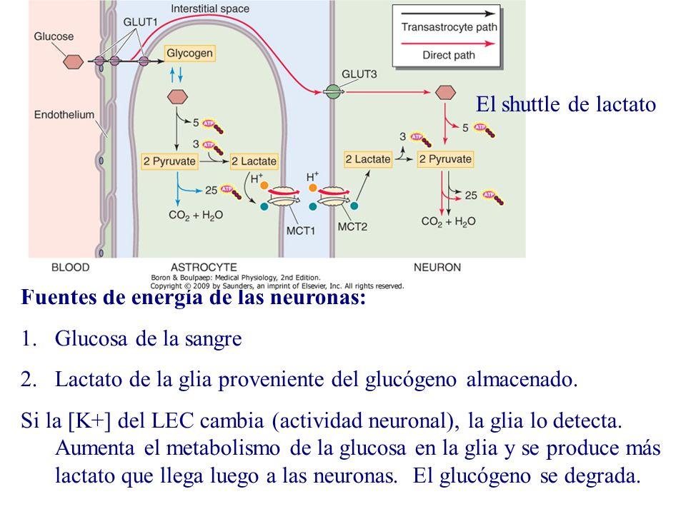Fuentes de energía de las neuronas: 1.Glucosa de la sangre 2.Lactato de la glia proveniente del glucógeno almacenado. Si la [K+] del LEC cambia (activ