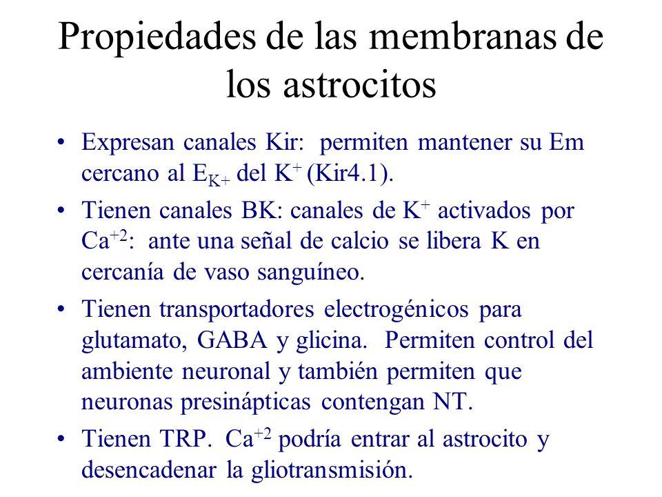 Propiedades de las membranas de los astrocitos Expresan canales Kir: permiten mantener su Em cercano al E K+ del K + (Kir4.1). Tienen canales BK: cana