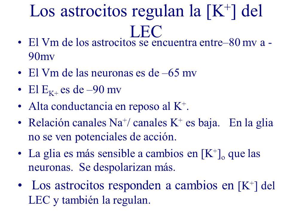 Los astrocitos regulan la [K + ] del LEC El Vm de los astrocitos se encuentra entre–80 mv a - 90mv El Vm de las neuronas es de –65 mv El E K+ es de –9