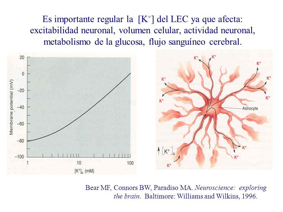 Es importante regular la [K + ] del LEC ya que afecta: excitabilidad neuronal, volumen celular, actividad neuronal, metabolismo de la glucosa, flujo s