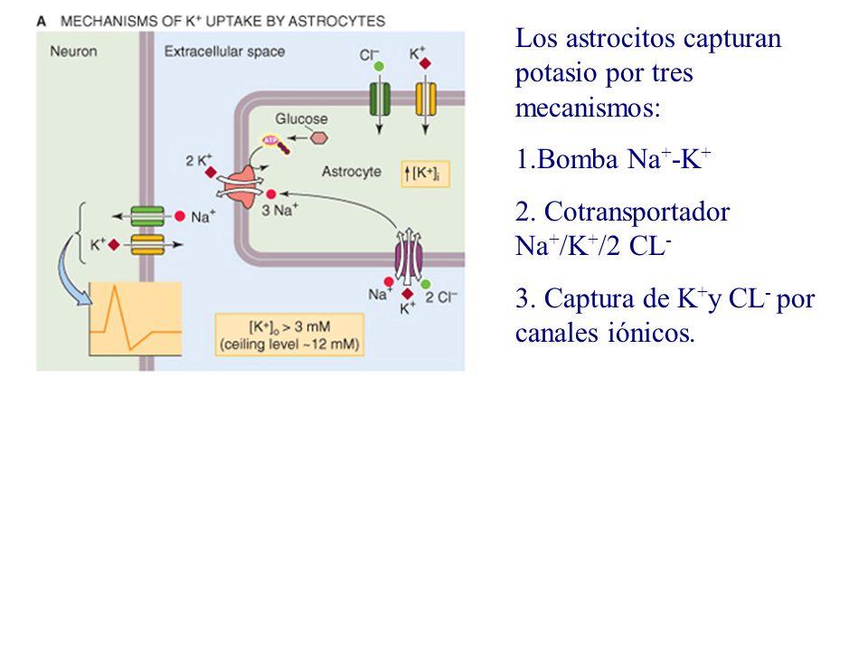 Los astrocitos capturan potasio por tres mecanismos: 1.Bomba Na + -K + 2. Cotransportador Na + /K + /2 CL - 3. Captura de K + y CL - por canales iónic