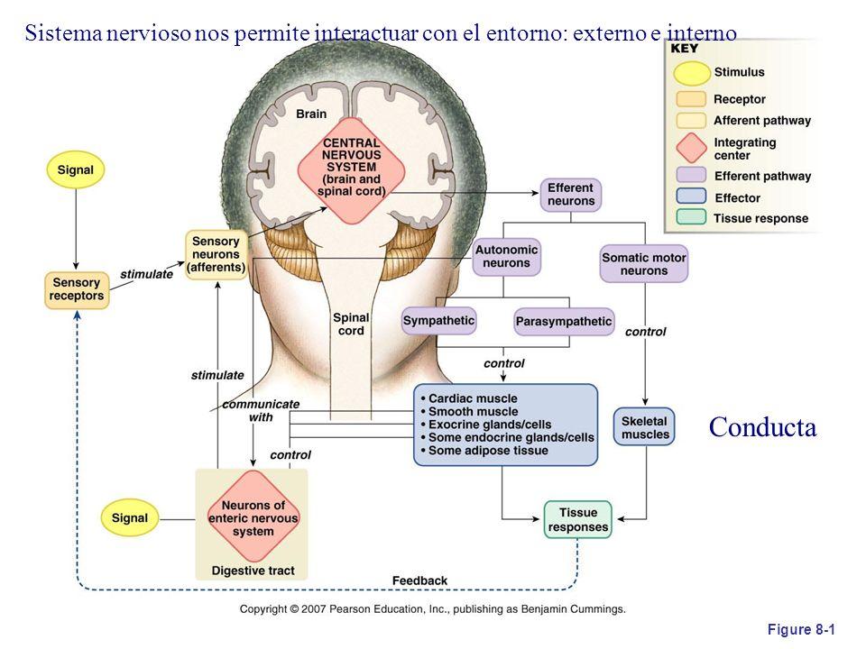 Figure 8-1 Sistema nervioso nos permite interactuar con el entorno: externo e interno Conducta