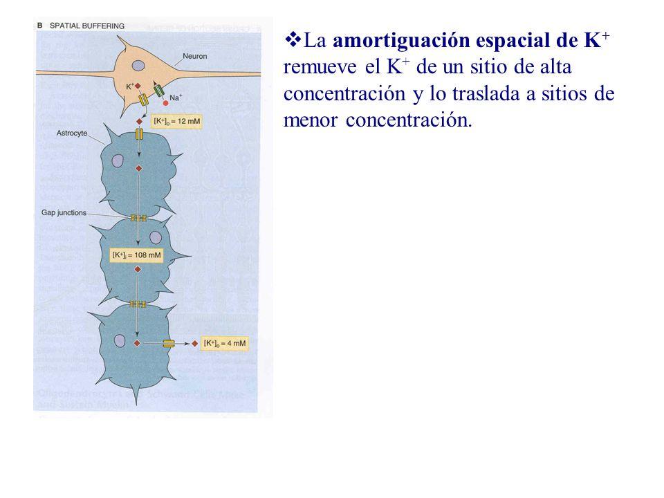 La amortiguación espacial de K + remueve el K + de un sitio de alta concentración y lo traslada a sitios de menor concentración.