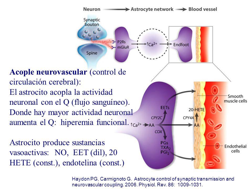 Acople neurovascular (control de circulación cerebral): El astrocito acopla la actividad neuronal con el Q (flujo sanguíneo). Donde hay mayor activida