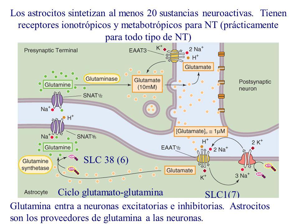Los astrocitos sintetizan al menos 20 sustancias neuroactivas. Tienen receptores ionotrópicos y metabotrópicos para NT (prácticamente para todo tipo d
