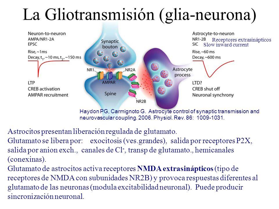Astrocitos presentan liberación regulada de glutamato. Glutamato se libera por: exocitosis (ves.grandes), salida por receptores P2X, salida por anion