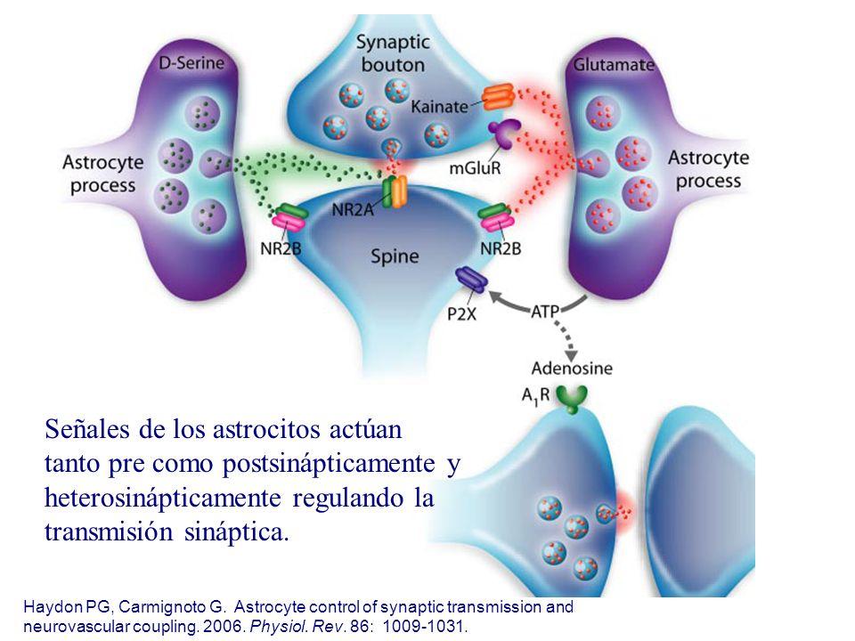 Señales de los astrocitos actúan tanto pre como postsinápticamente y heterosinápticamente regulando la transmisión sináptica.