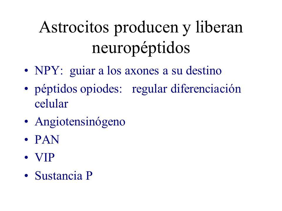 Astrocitos producen y liberan neuropéptidos NPY: guiar a los axones a su destino péptidos opiodes: regular diferenciación celular Angiotensinógeno PAN