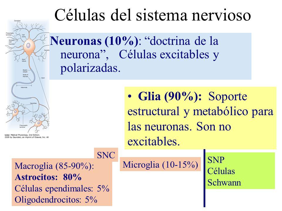 Células del sistema nervioso Neuronas (10%): doctrina de la neurona, Células excitables y polarizadas. Glia (90%): Soporte estructural y metabólico pa