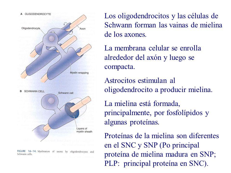 Los oligodendrocitos y las células de Schwann forman las vainas de mielina de los axones. La membrana celular se enrolla alrededor del axón y luego se