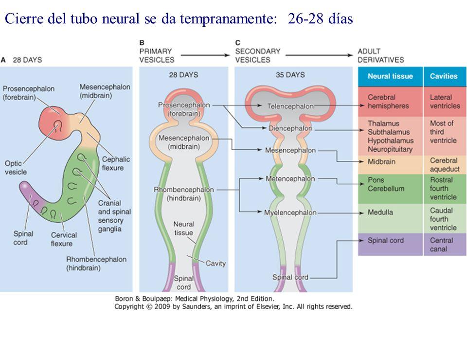 Cierre del tubo neural se da tempranamente: 26-28 días