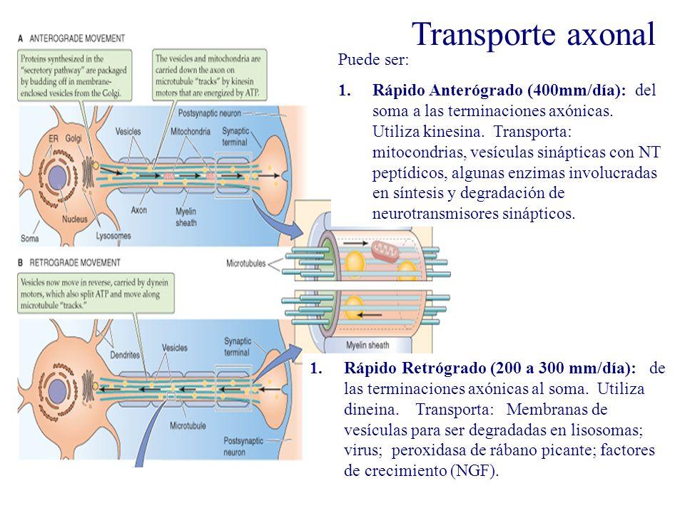 Transporte axoplásmico Puede ser: 1.Rápido Anterógrado (400mm/día): del soma a las terminaciones axónicas. Utiliza kinesina. Transporta: mitocondrias,