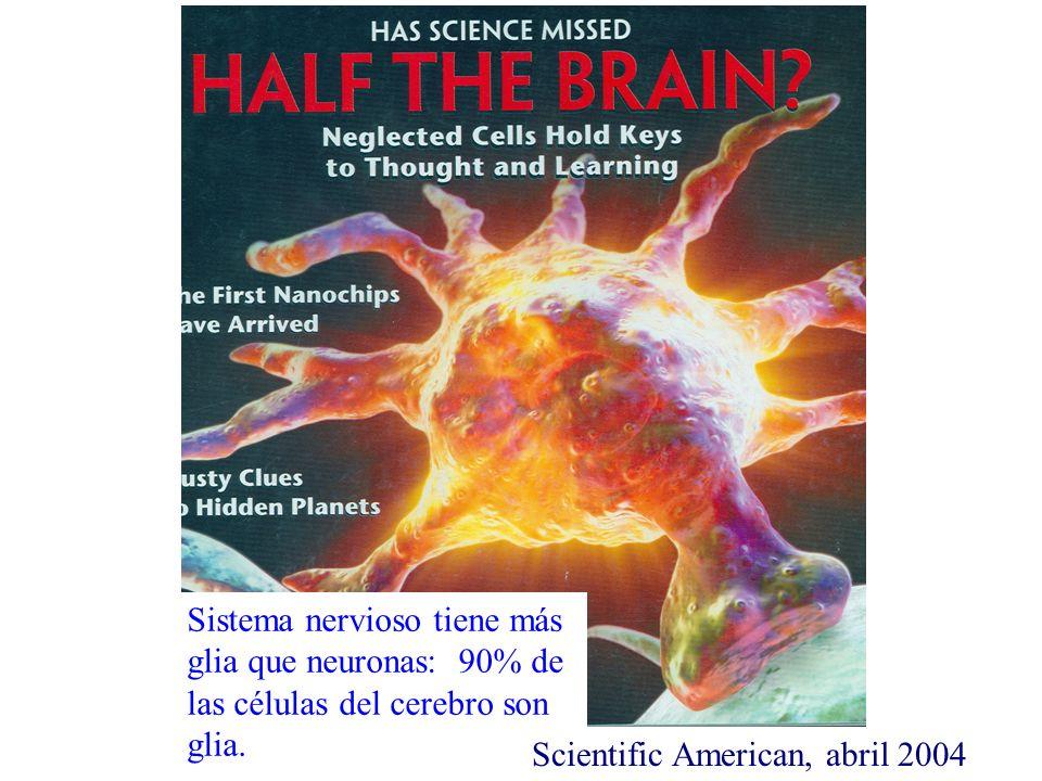 Sistema nervioso tiene más glia que neuronas: 90% de las células del cerebro son glia. Scientific American, abril 2004