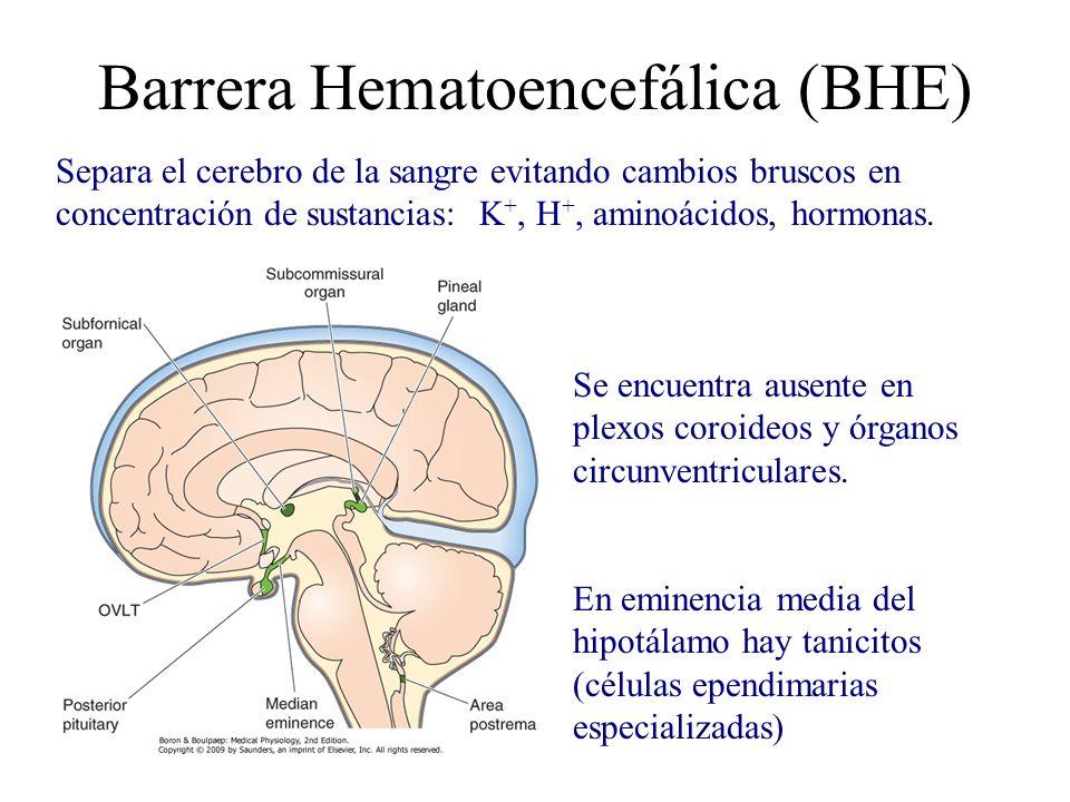 Barrera Hematoencefálica (BHE) Separa el cerebro de la sangre evitando cambios bruscos en concentración de sustancias: K +, H +, aminoácidos, hormonas