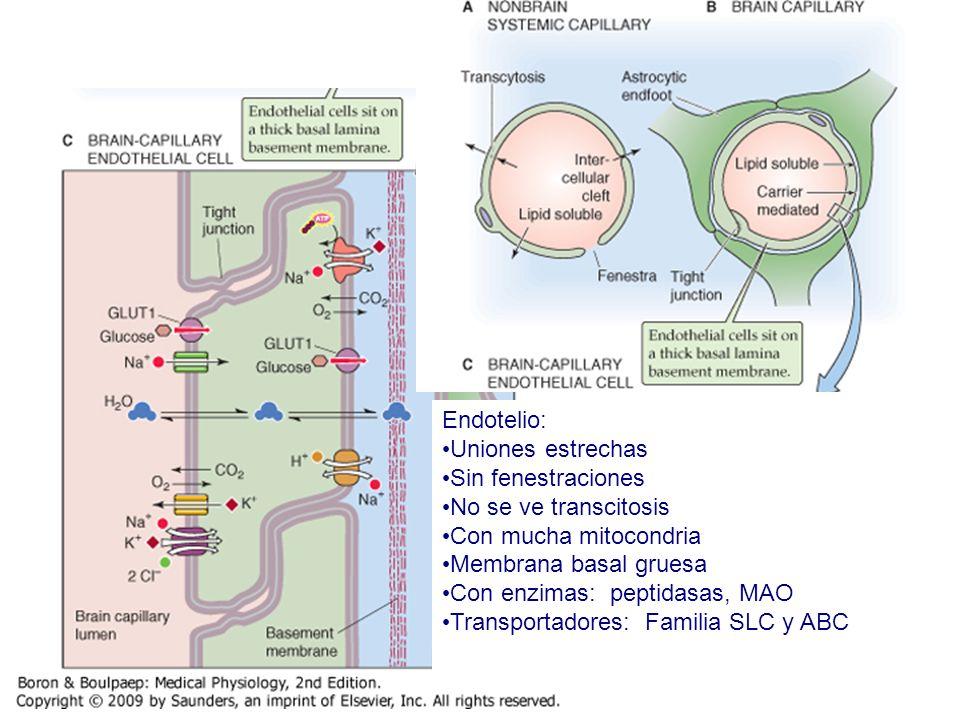 Endotelio: Uniones estrechas Sin fenestraciones No se ve transcitosis Con mucha mitocondria Membrana basal gruesa Con enzimas: peptidasas, MAO Transpo