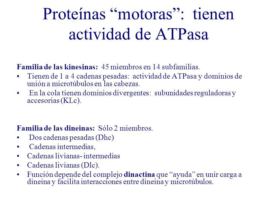 Proteínas motoras: tienen actividad de ATPasa Familia de las kinesinas: 45 miembros en 14 subfamilias. Tienen de 1 a 4 cadenas pesadas: actividad de A