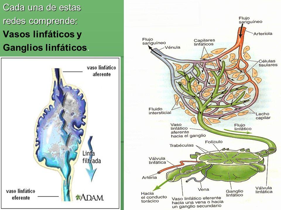 Estructuras que drenan al conducto linfático Derecho: Drenaje de la cabeza y cuello del lado derecho.
