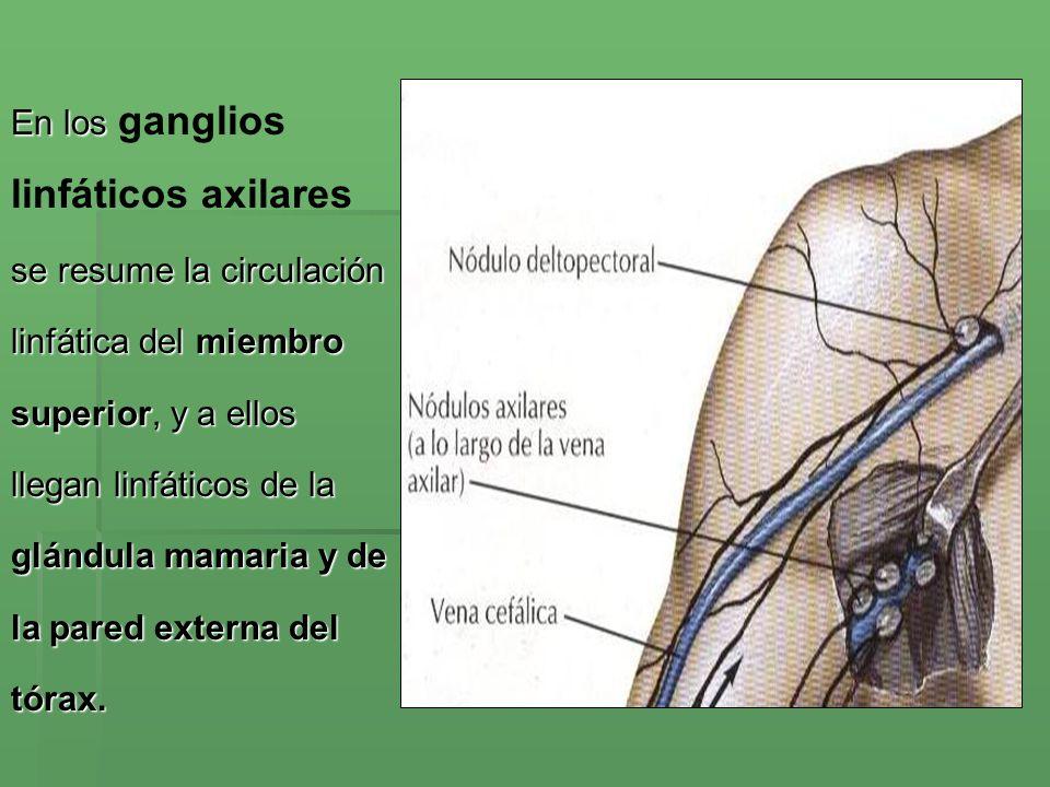 RED LINFATICA PROFUNDA Vasos linfáticos profundos Drenan la linfa de los músculos, nervios, de los huesos.