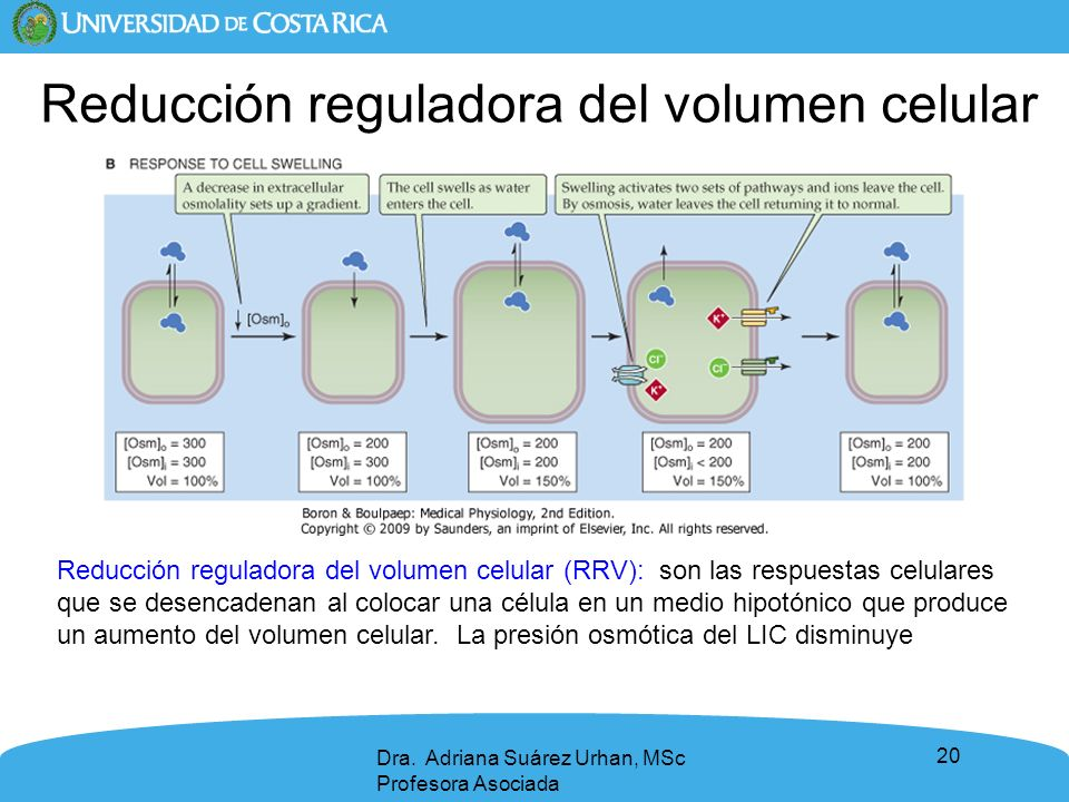 20 Dra. Adriana Suárez Urhan, MSc Profesora Asociada Reducción reguladora del volumen celular Reducción reguladora del volumen celular (RRV): son las