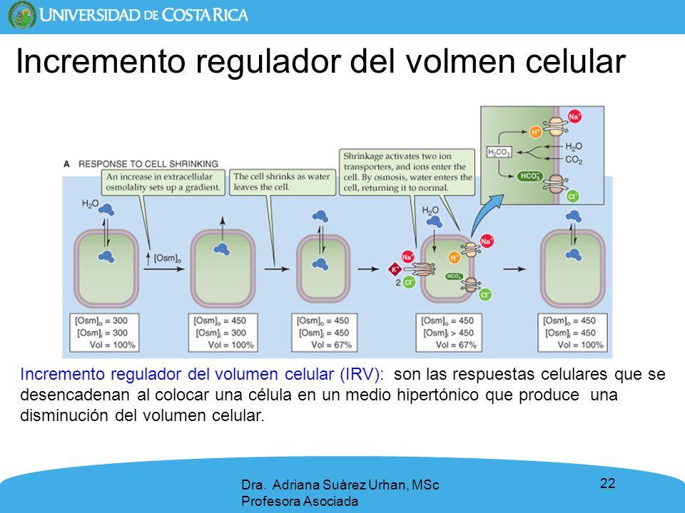 22 Dra. Adriana Suárez Urhan, MSc Profesora Asociada Incremento regulador del volumen celular (IRV): son las respuestas celulares que se desencadenan