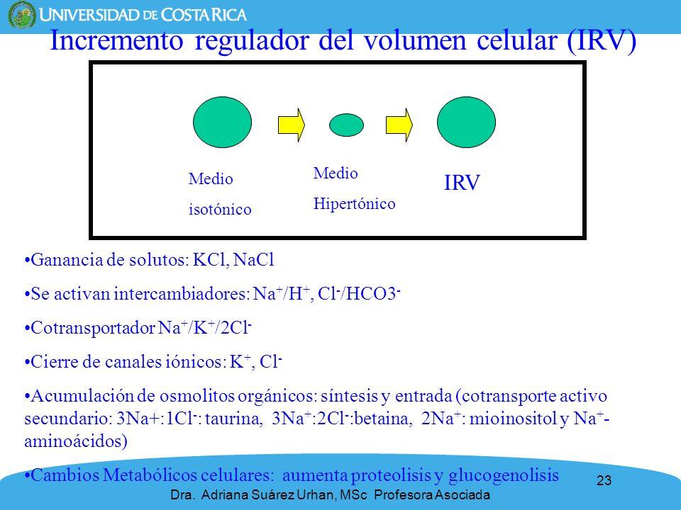 23 Incremento regulador del volumen celular (IRV) Ganancia de solutos: KCl, NaCl Se activan intercambiadores: Na + /H +, Cl - /HCO3 - Cotransportador