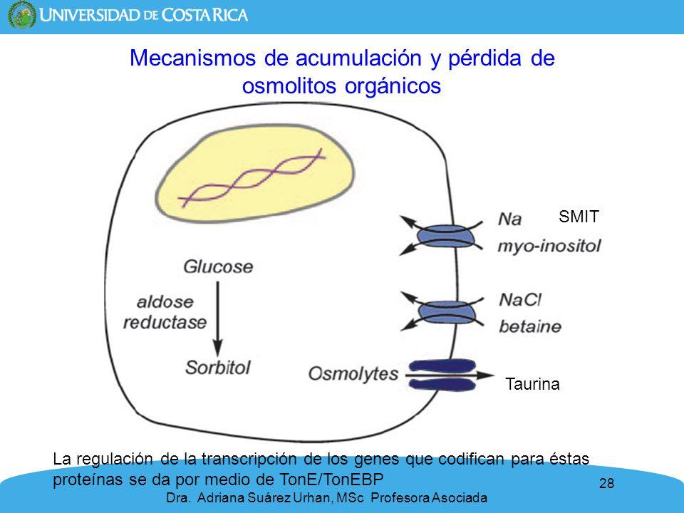 28 Mecanismos de acumulación y pérdida de osmolitos orgánicos SMIT Taurina La regulación de la transcripción de los genes que codifican para éstas pro
