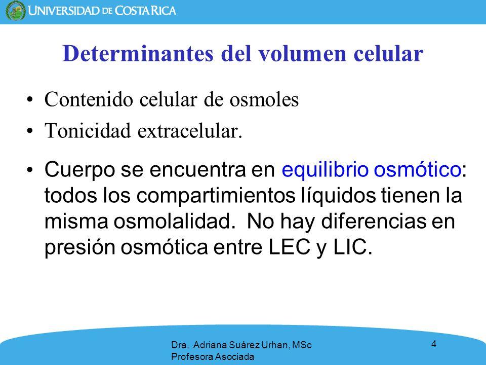 4 Determinantes del volumen celular Contenido celular de osmoles Tonicidad extracelular. Cuerpo se encuentra en equilibrio osmótico: todos los compart