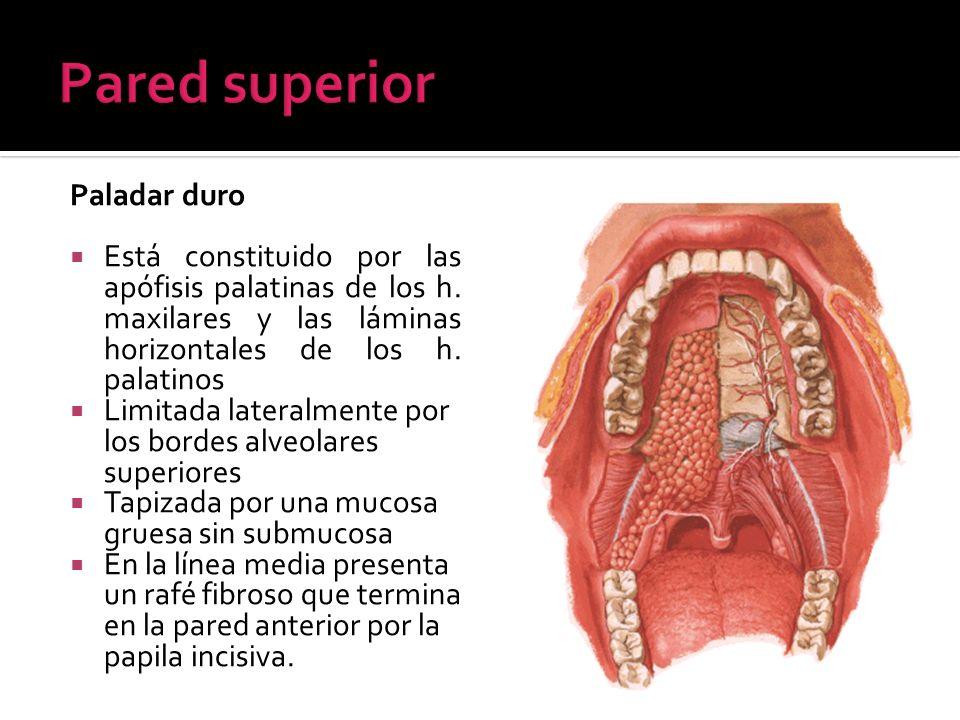 Paladar duro Está constituido por las apófisis palatinas de los h. maxilares y las láminas horizontales de los h. palatinos Limitada lateralmente por