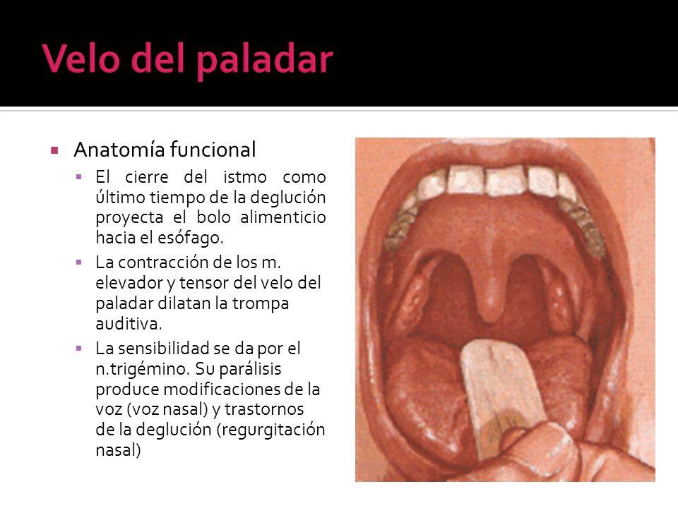 Anatomía funcional El cierre del istmo como último tiempo de la deglución proyecta el bolo alimenticio hacia el esófago. La contracción de los m. elev