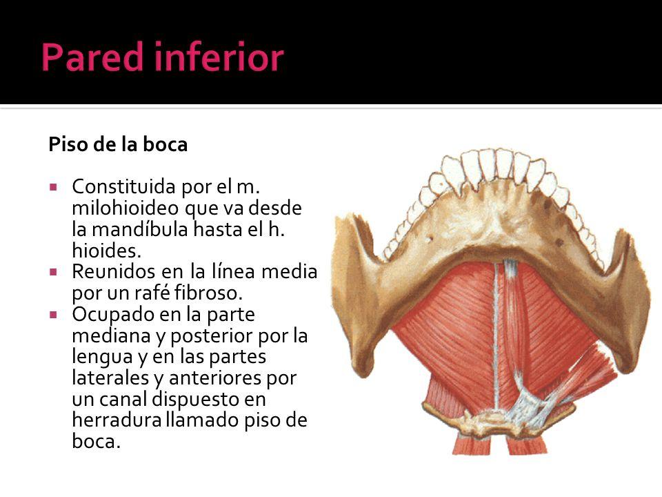 Piso de la boca Constituida por el m. milohioideo que va desde la mandíbula hasta el h. hioides. Reunidos en la línea media por un rafé fibroso. Ocupa