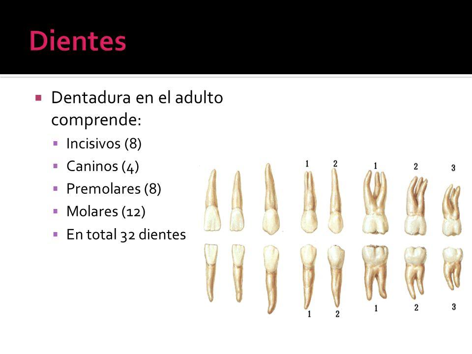 Dentadura en el adulto comprende: Incisivos (8) Caninos (4) Premolares (8) Molares (12) En total 32 dientes