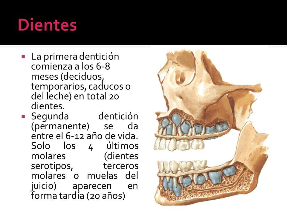 La primera dentición comienza a los 6-8 meses (deciduos, temporarios, caducos o del leche) en total 20 dientes. Segunda dentición (permanente) se da e