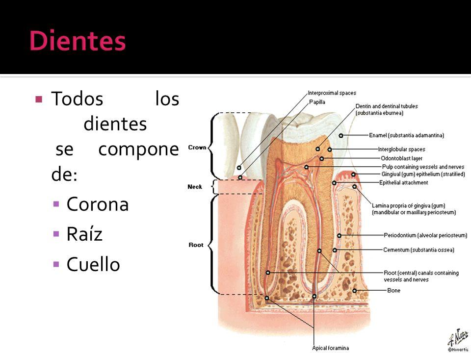 Todos los dientes se compone de: Corona Raíz Cuello