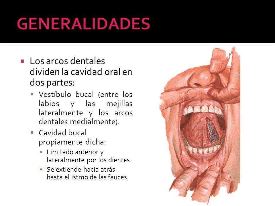 Los arcos dentales dividen la cavidad oral en dos partes: Vestíbulo bucal (entre los labios y las mejillas lateralmente y los arcos dentales medialmen