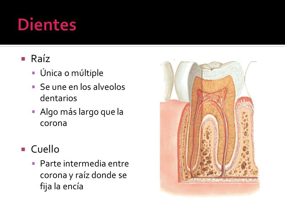 Raíz Única o múltiple Se une en los alveolos dentarios Algo más largo que la corona Cuello Parte intermedia entre corona y raíz donde se fija la encía