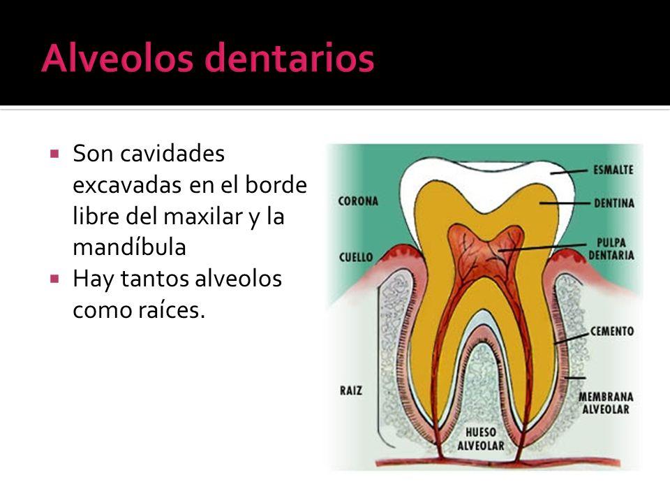 Son cavidades excavadas en el borde libre del maxilar y la mandíbula Hay tantos alveolos como raíces.