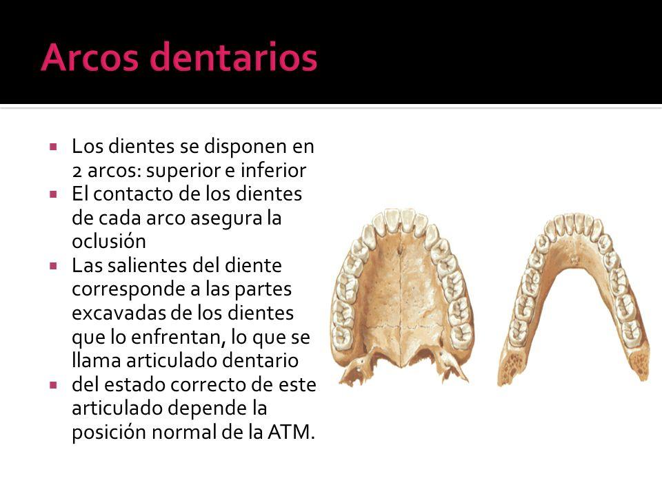 Los dientes se disponen en 2 arcos: superior e inferior El contacto de los dientes de cada arco asegura la oclusión Las salientes del diente correspon