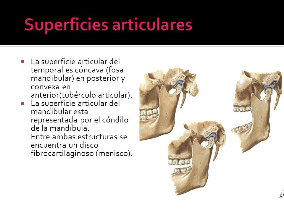 La superficie articular del temporal es cóncava (fosa mandibular) en posterior y convexa en anterior(tubérculo articular). La superficie articular del