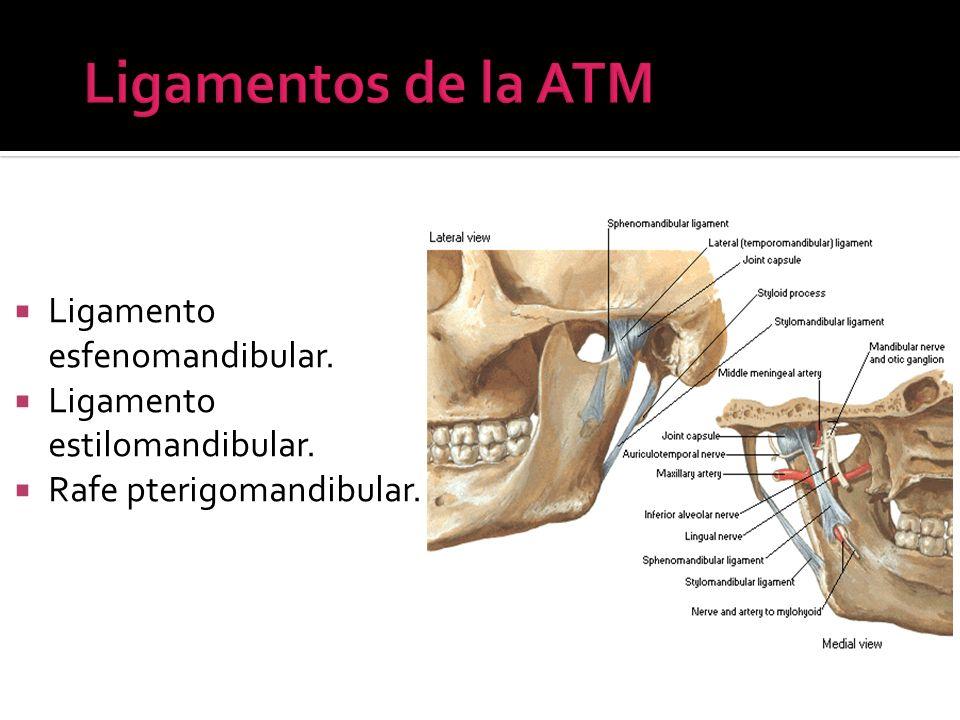 Ligamento esfenomandibular. Ligamento estilomandibular. Rafe pterigomandibular.