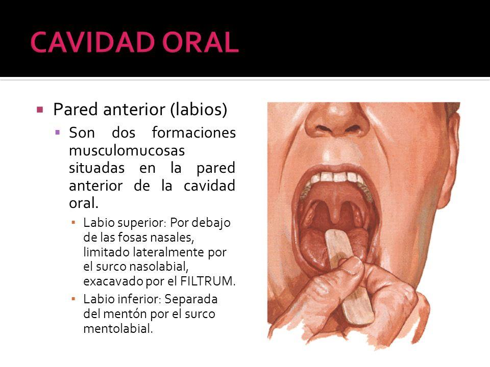 Pared anterior (labios) Son dos formaciones musculomucosas situadas en la pared anterior de la cavidad oral. Labio superior: Por debajo de las fosas n