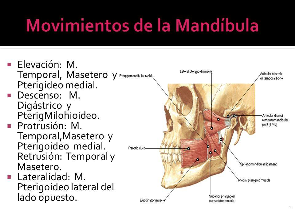 Elevación: M. Temporal, Masetero y Pterigideo medial. Descenso: M. Digástrico y PterigMilohioideo. Protrusión: M. Temporal,Masetero y Pterigoideo medi