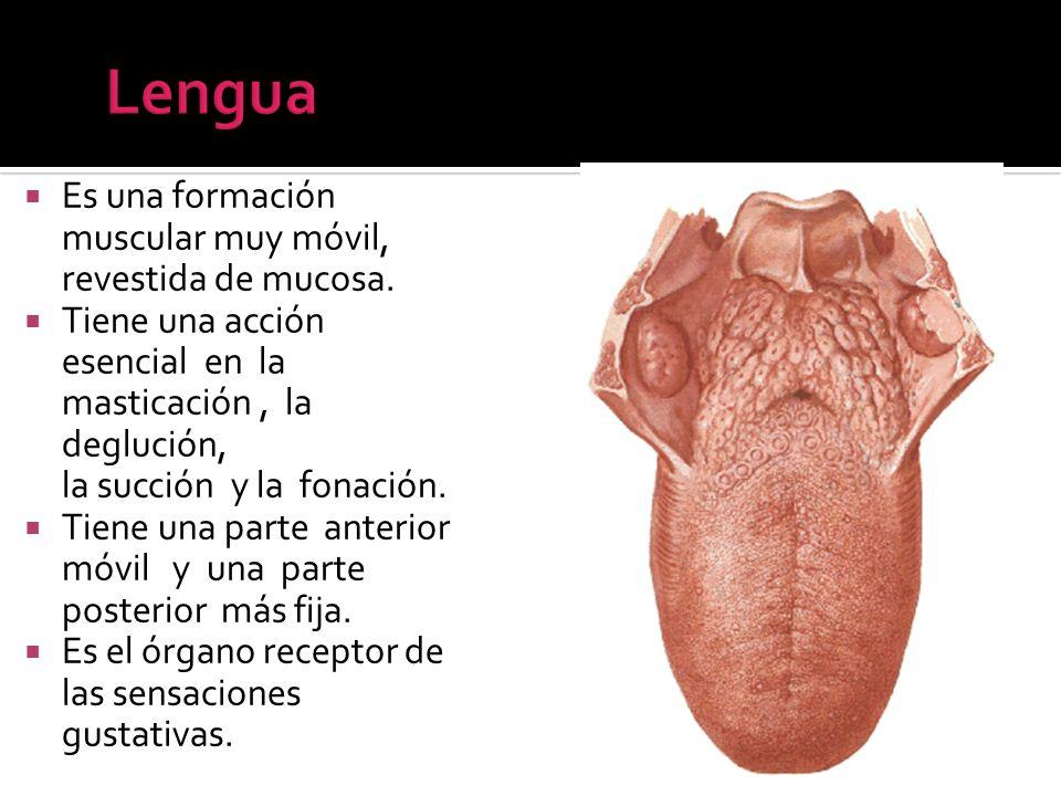Es una formación muscular muy móvil, revestida de mucosa. Tiene una acción esencial en la masticación, la deglución, la succión y la fonación. Tiene u
