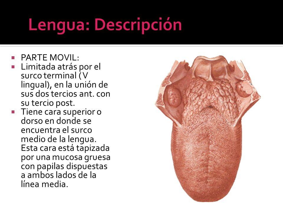 PARTE MOVIL: Limitada atrás por el surco terminal ( V lingual), en la unión de sus dos tercios ant. con su tercio post. Tiene cara superior o dorso en