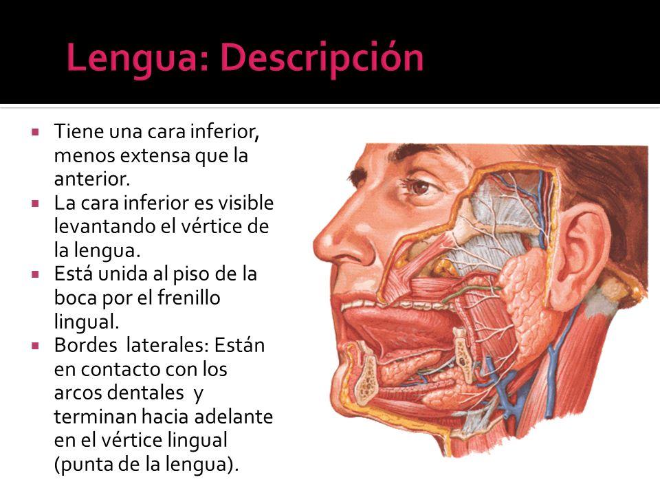 Tiene una cara inferior, menos extensa que la anterior. La cara inferior es visible levantando el vértice de la lengua. Está unida al piso de la boca